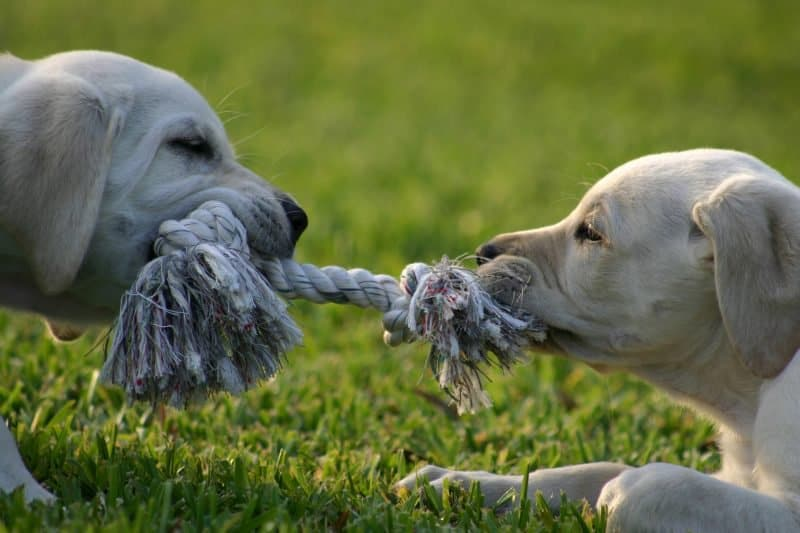 dogs fighting over a chew toy